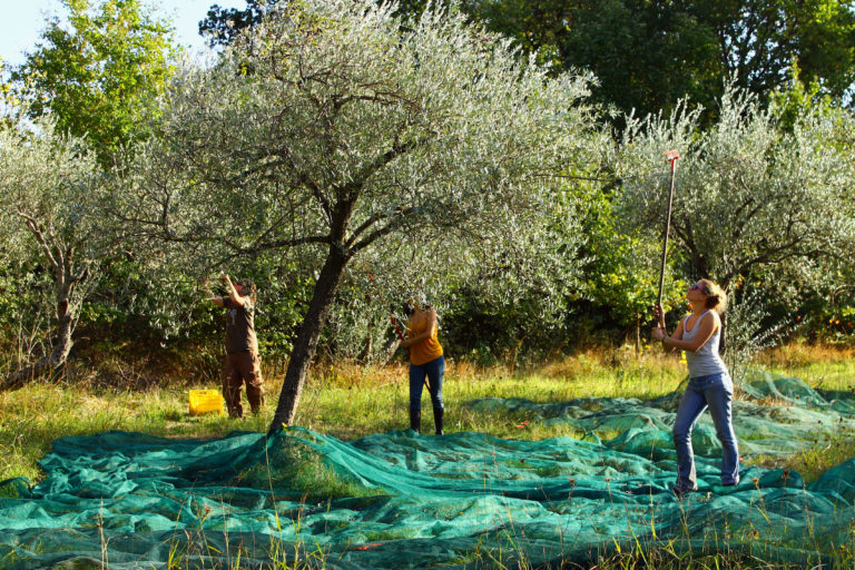 Olive picking_Tourist guide, travel catalog, Greece tourist catalogue,e-travels.gr